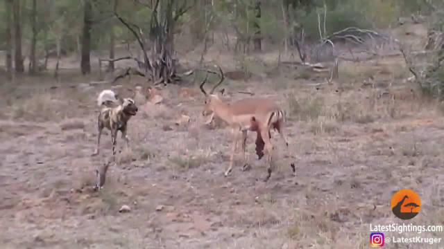 残忍!黑斑羚在内脏脱落情况下反击野狗,终因寡不敌众倒下