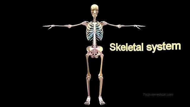 人体骨架一共有206块骨头,它们是如何组合在一起的呢?……