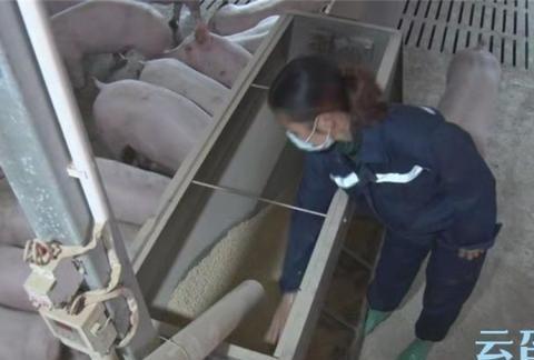 绥宁县向祖强:当好产业带头人 生猪养殖奔富路