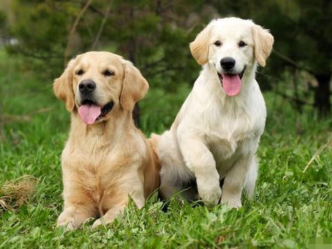 十二生肖狗:上天为你准备了一场盛大的喜事!你家里有戌狗吗?