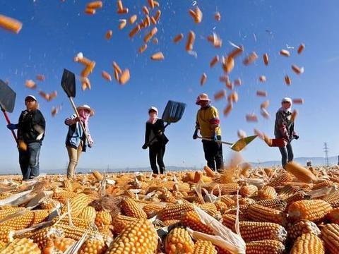 玉米价格又涨了,黑吉辽遍地开花,纷纷涨价附:11月24日玉米价格