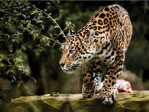 猫科动物为什么那么厉害? 假如人类消失, 猫科动物将是主宰