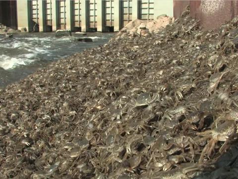 男子在河边跑步时看见大量螃蟹,网友了解后坐不住了