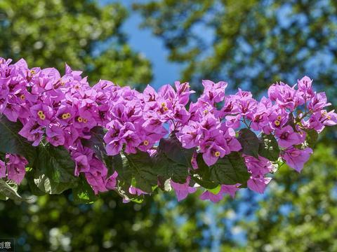 学会栽植三角梅,牢记5点在心间,半年观叶半年赏花,路人驻足