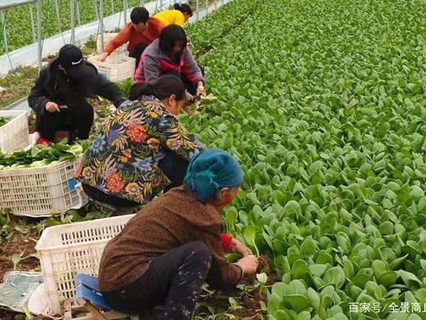 河南商丘睢阳区:李口镇蔬菜大棚里传出幸福歌声