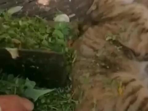 狸花猫:面对菜刀也不虚,老子有九条命!