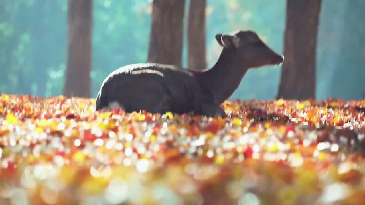 在秋色落叶上打瞌睡的奈良小鹿,冬天来啦…………