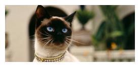 高贵傲娇的暹罗猫,脾气却很好,为什么还是没有人养?