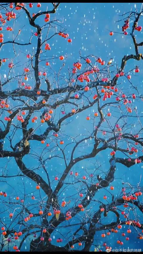 秋去冬来万物休,唯有柿树挂灯笼。又下雪了
