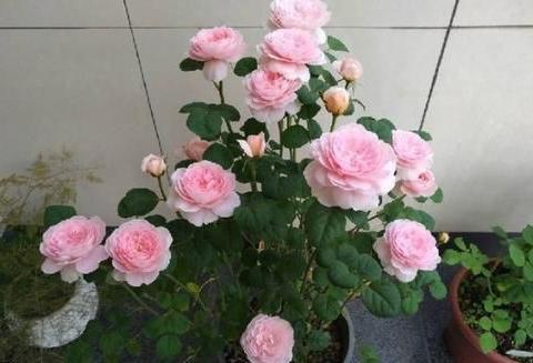 此花比绿萝好养,漂亮不输玫瑰,花期长达200天,是阳台盆栽佳品