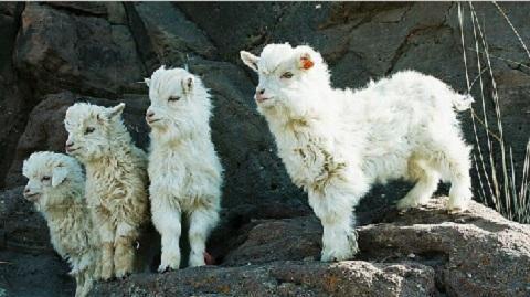 新手养羊买多大羊最好呢?小农庄分享选羊的实操经验