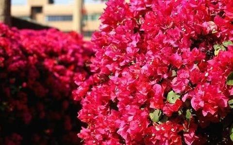 春天养三角梅,给它喂点补品,枝繁叶茂,开花颜色艳!