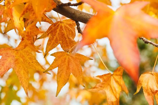 """银杏等秋色叶树种开始""""换装"""",松江最美秋景坐等你来打卡"""