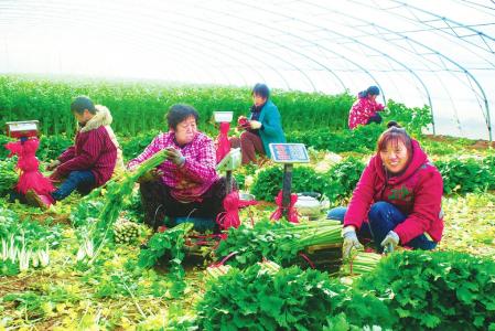 收割反季节蔬菜