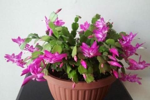 春天养蟹爪兰,就用这2种花肥,花箭呼呼冒,叶片更肥厚!