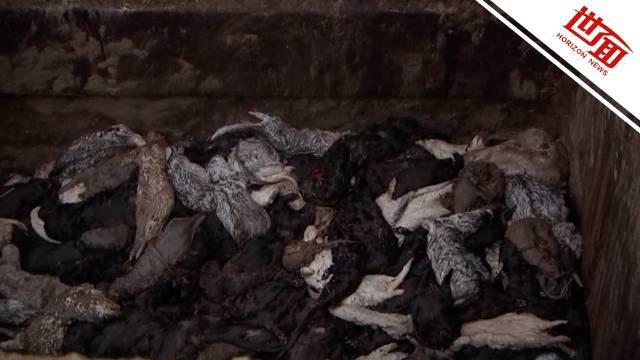 丹麦遭捕杀水貂尸体重现地面:膨胀腐烂