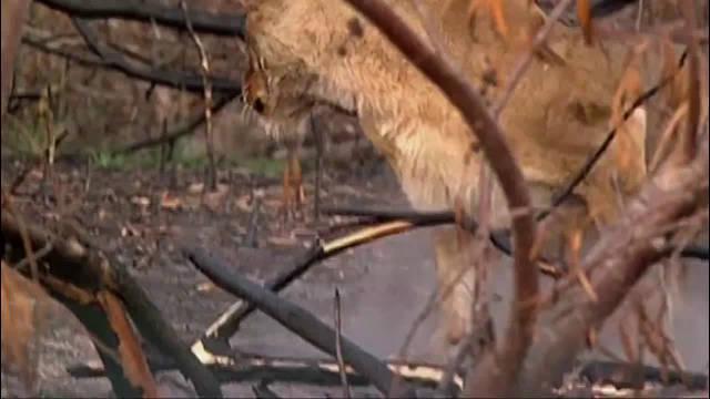 非洲母狮,麻醉后倒地,好姐妹不顾危险来帮忙