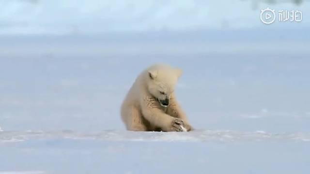 正在玩冰块的北极熊宝宝,被海豹吓了一跳~哈哈哈哈哈萌翻了