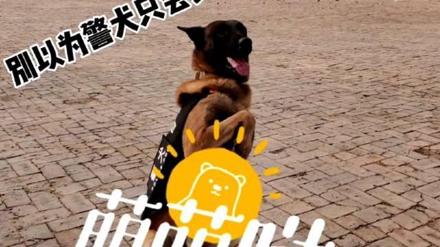 军犬麦克的日常训练。(廊坊 黄天翔 陆中浩 德格吉日呼)