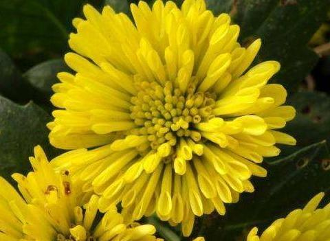 新手养护花卉,就养金光灿烂的花卉,花开活力四射,适合盆栽养!