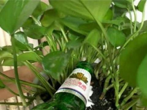 """室内养绿萝、吊兰,只用3种""""肥水"""",就能长得枝叶繁茂!"""