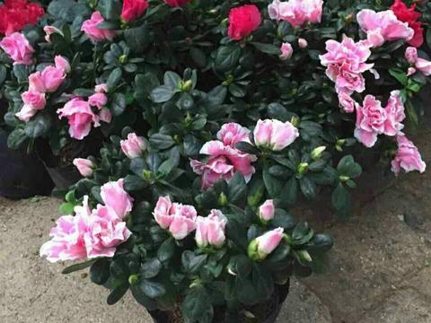 盆栽杜鹃花,4个细节要注意,不然黄叶、枯萎,难养活