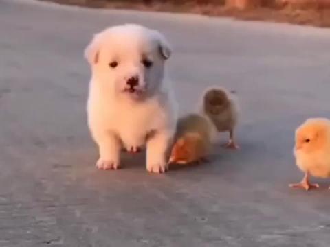小鸡仔太黏狗狗了,这是把小奶狗当成妈妈了吗?