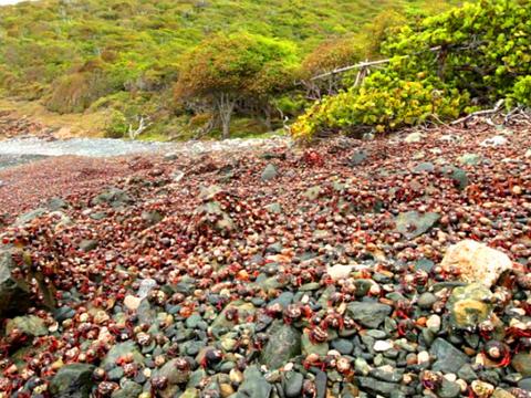 """圣约翰岛海岸上铺满了""""花纹石头"""",围观民众看清后不想上前捡拾"""