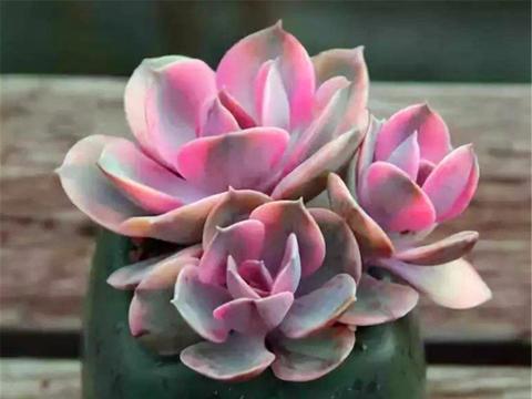 """冬天养多肉紫珍珠,""""3件事情""""不能早做,学会了根系健康颜色亮"""