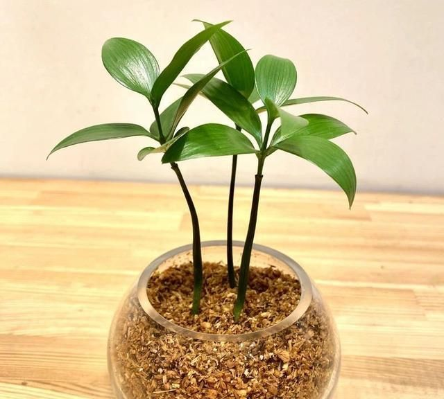 盆栽竹柏的幼苗,和户外的乔木对比,差别也太大了