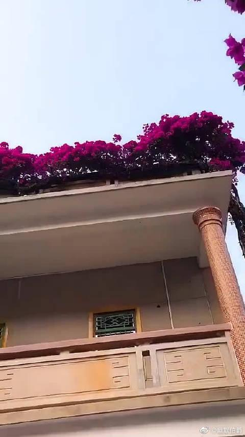 20多年的杜鹃花,从一楼的院子爬到2楼,壮观!...