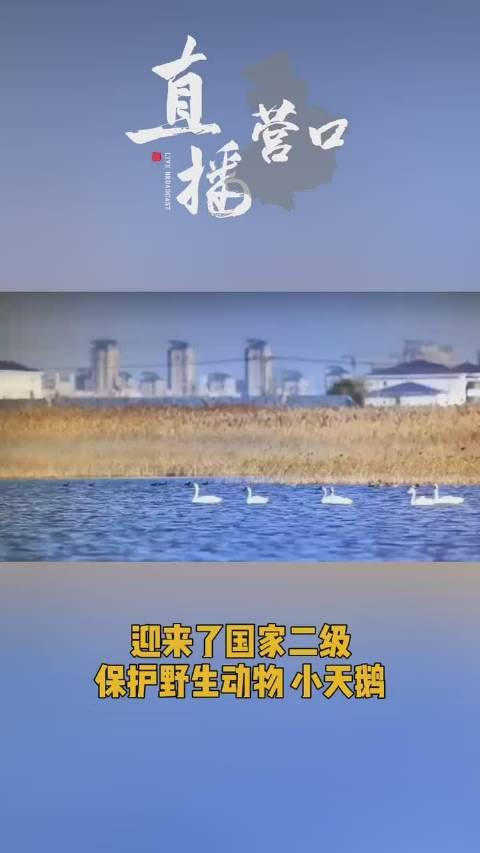 """营口西海岸湿地的""""天鹅湖"""" 迎来六小天鹅最长栖息期"""