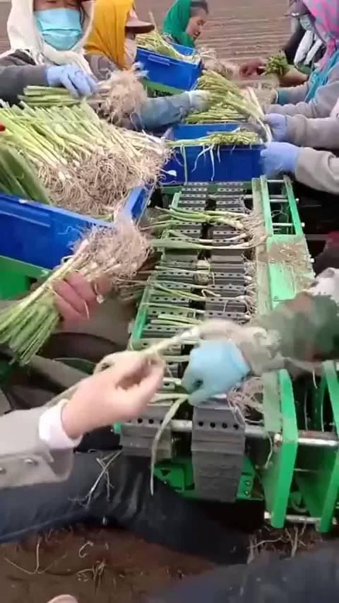 三十万的大葱种植机,还要人工分拣,这钱花的一点也不值!