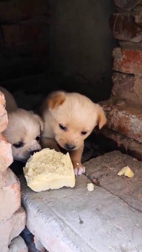 两只心爱的中华田园犬,一个馒头就很知足了