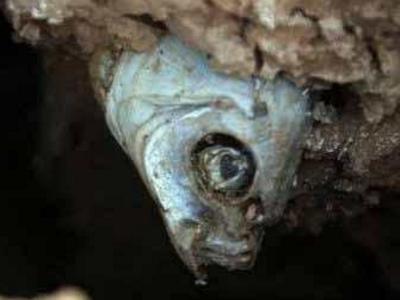名副其实的鱼坚强,在泥土中被困数年依旧活着