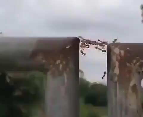 蚂蚁团结的力量,用身体搭桥帮助同伴通行