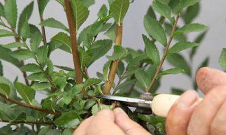 月季花冒新芽能修剪吗?聪明人这种苗都不留,分枝多花量翻倍!