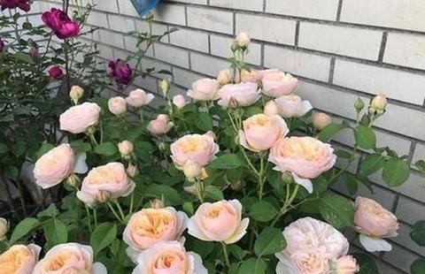 最厉害的养花营养液:给月季花喝一勺,花苞蹭蹭长满盆!
