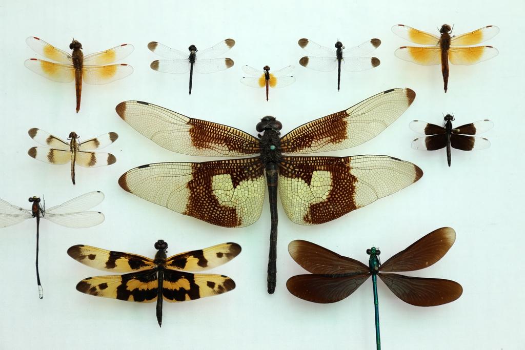组图 四川发现世界最小蜻蜓