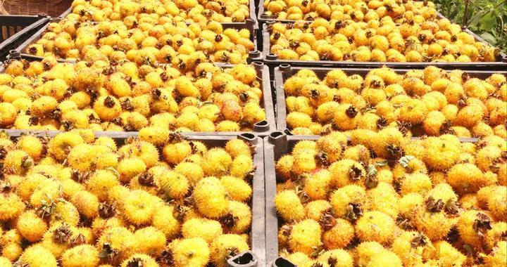 2020收购刺梨鲜果23044吨|盘州发挥国有企业党组织作用助推刺梨产业发展