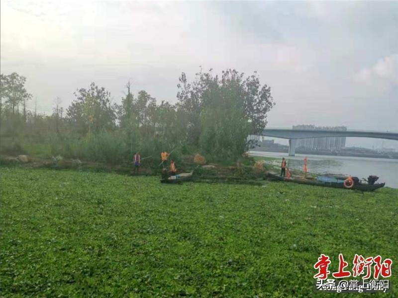 衡阳湘江河里的水葫芦不见了!原因竟是……