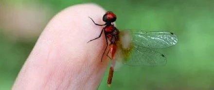 体长不足15毫米,乐山发现目前已知世界最小蜻蜓个体