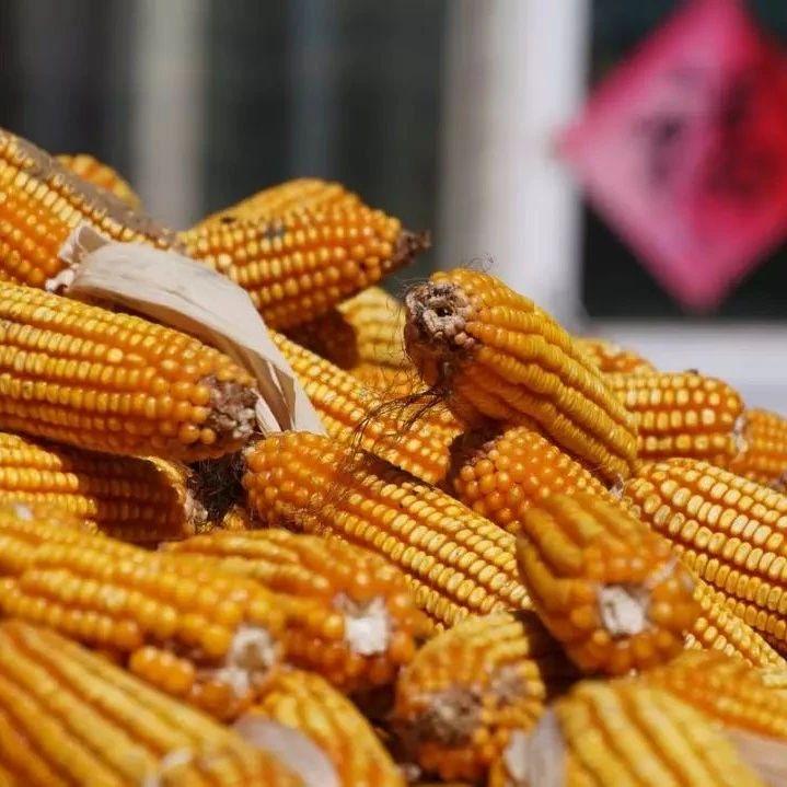 涨太狠了,东北地租一万二每垧!玉米价格最新报!