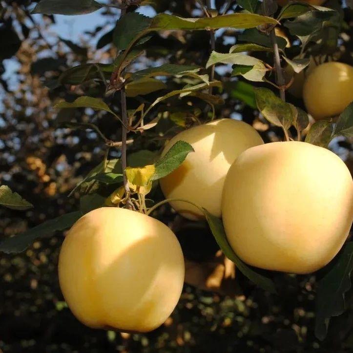 好吃!盼了一整年的出口级黄金苹果,脆过红富士,甜似阿克苏