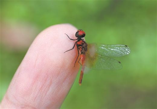 最小蜻蜓现身四川 体长不足15毫米