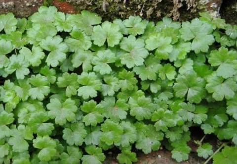 农村菜地里,有1种野草,比铜钱草值钱,快看看你见过没?