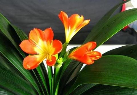 君子兰开花少?给它喝点神仙水,叶子坚挺肥绿,开花100朵!