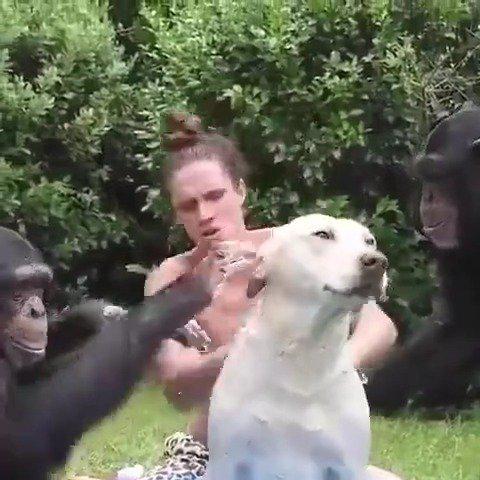 野生动物保护区里一小哥和大猩猩合作……