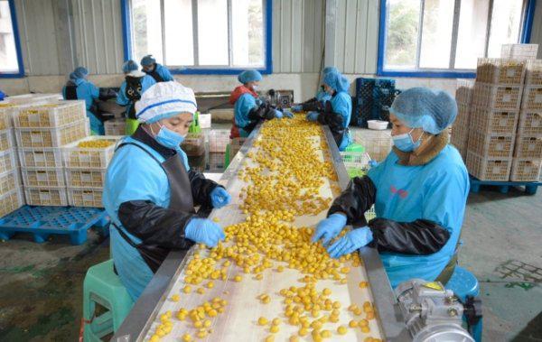望谟县贵州光秀生态食品有限责任公司内当地群众正在加工板栗