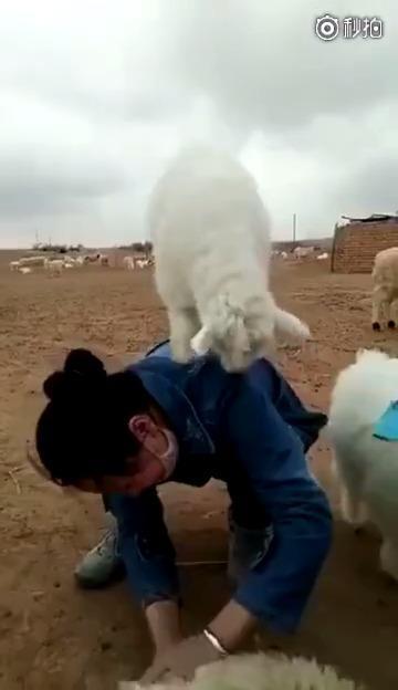 小时候天天跳山羊跳多了,长大了让羊跳